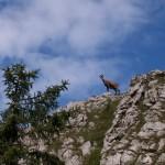 Gams beim Aufstieg Brennerin über Brennerriesen-Steig